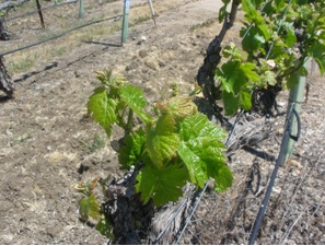 Bud break Cass Vineyard Cab Franc