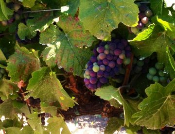 Veraison in Paso Robles 2013 - Pomar Junction Winery