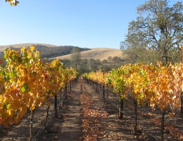 the fall vineyard at Shadow Run Vineyard, Paso Robles