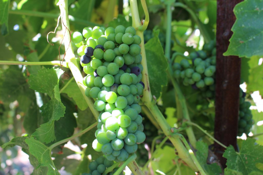 early veraison at Rails Nap - Paso Robles