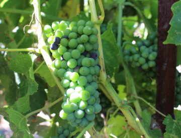 early syrah veraison at Rails Nap