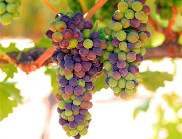 Veraison at Sculpterra Winery