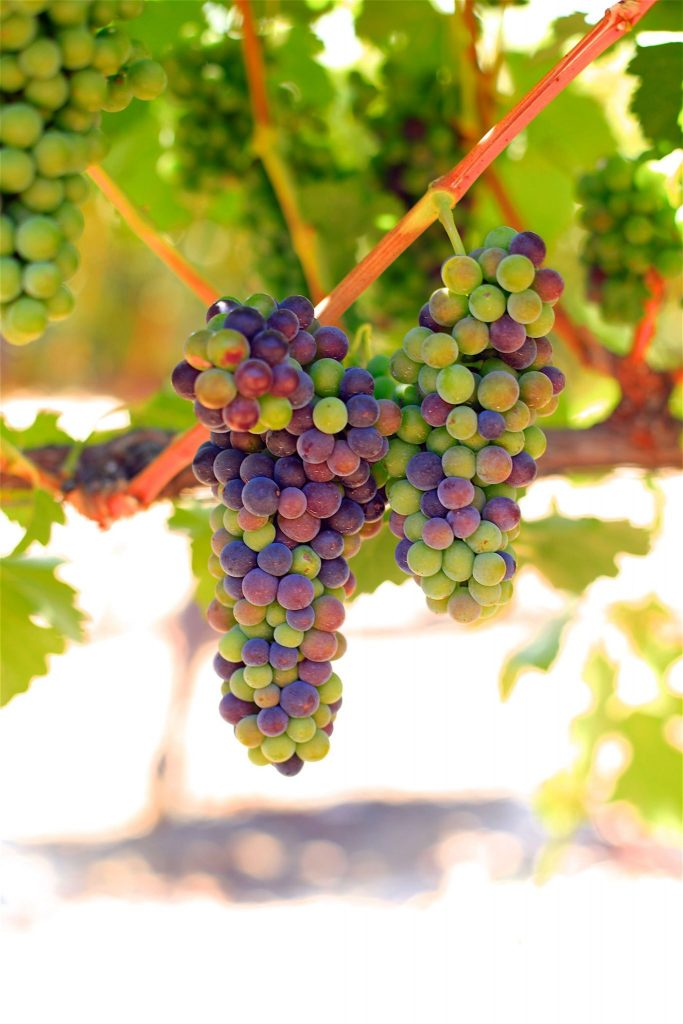 veraison at Sculpterra Vineyards & Winery - Paso Robles